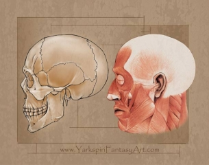 Skull Muscle Anatomy